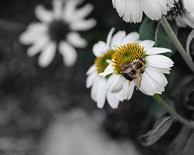 Photograph - Bee Daisied by Stephanie Maatta Smith