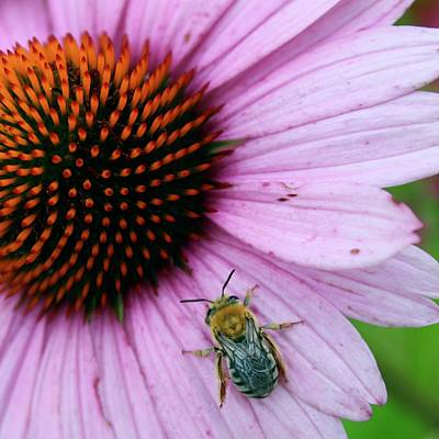 Anchor Down - Bee Delight on a Purple Cone Flower by Mandy Elliott