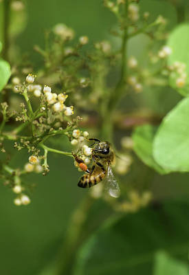 Photograph - Bee Diligent by William Tasker