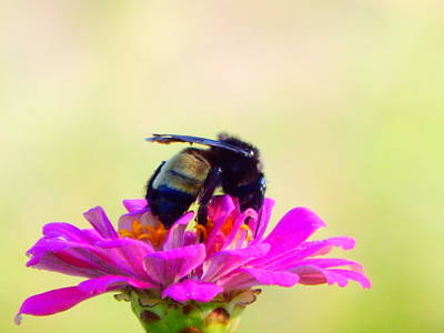 Photograph - Bee Dining On A Zinnia by Virginia Kay White