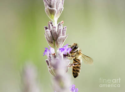 Photograph - Bee Drinking Nectar From Lavender by Perry Van Munster