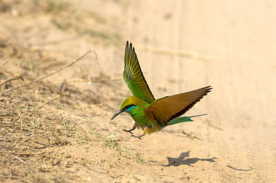 Photograph - Bee Eater Landing by Ramabhadran Thirupattur