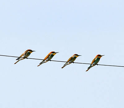 Bee Eaters On A Witre  Art Print