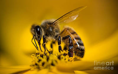 Bee Enjoys Collecting Pollen From Yellow Coreopsis Art Print