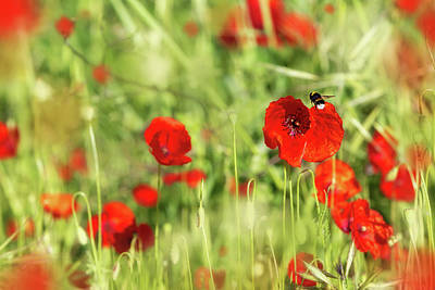 Photograph - Bee Flying In Field Of Red Poppy Flowers by Susan Schmitz