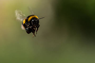 Bee Flying - View From Front Art Print