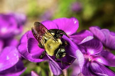 Photograph - Bee Foraging by Douglas Barnett