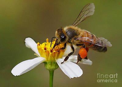 Photograph - Bee Gathering Pollen by Myrna Bradshaw