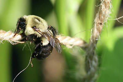 Photograph - Bee Hanging Onto Twine Glistening In Sunlight After Working by Bonnie Boden