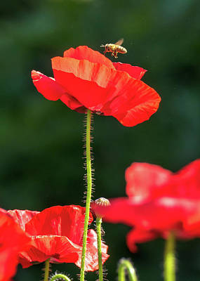 Photograph - Bee Hovering Over Red Poppy by Jay Blackburn