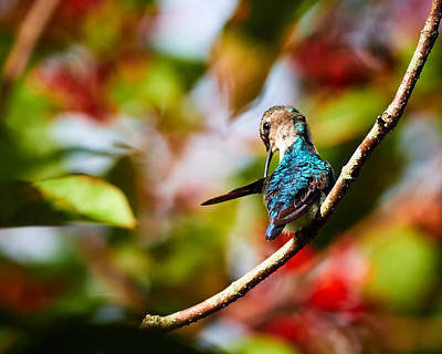 Photograph - Bee Hummingbird by David Beebe