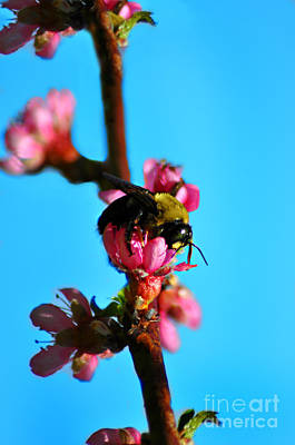 Photograph - Bee In Blossom by Eric Liller