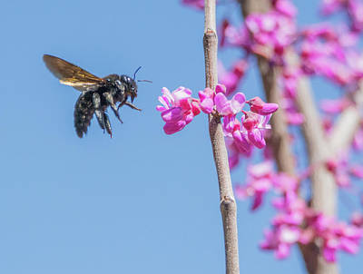 Photograph - Bee In Flight 2038-031718-1cr by Tam Ryan