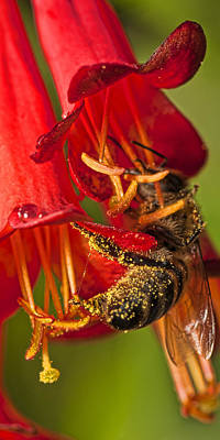 Photograph - Bee In Flower by Roberto Aloi