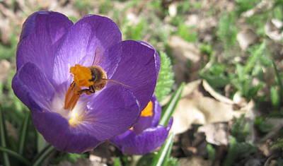 Bee In Purple Flower Print by Luke Cain