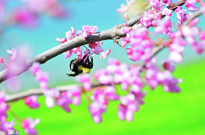 Photograph - Bee In Red Bud Tree by David Arment