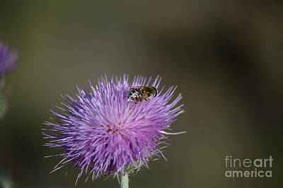 Photograph - Bee In Thistle by Anne Rodkin