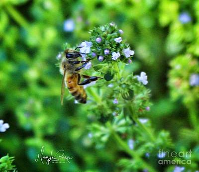 Photograph - Bee Is In The Oregano by MaryLee Parker