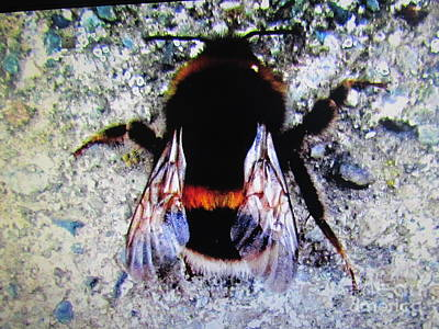 Photograph - Bee by Joyce Woodhouse