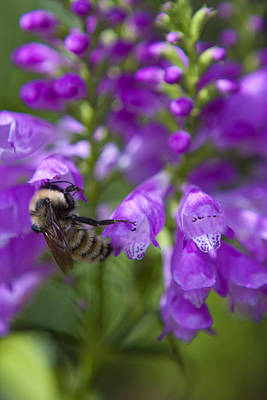 Photograph - Bee Landing by Peter Skiba