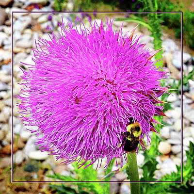 Photograph - Bee Likes Purple by Robert Clayton