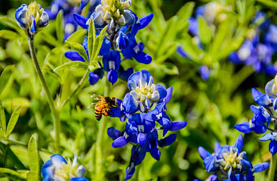 Photograph - Bee-loved Bluebonnet by Debra Martz