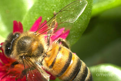 Photograph - Bee Macro Shot by Claudia Ellis