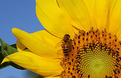 Photograph - Bee My Sunshine by Shari Jardina