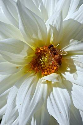 Bee Nice Dahlia  Art Print