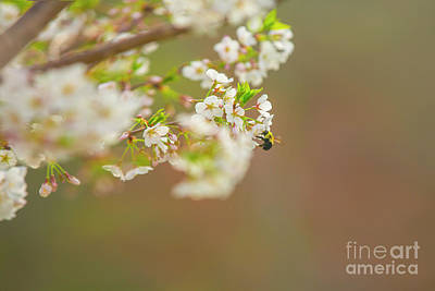 Photograph - Bee On A Cherry Blossom by Diane Diederich