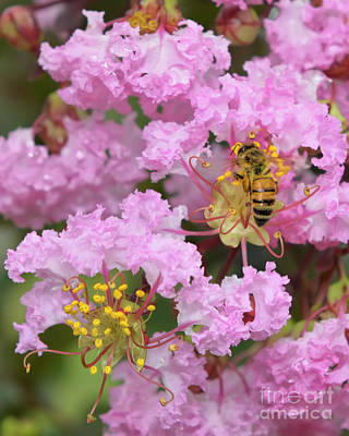 Photograph - Bee On A Crepe Myrtle Flower by Olga Hamilton