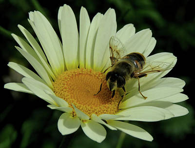Photograph - Bee On A Daisy by John Topman