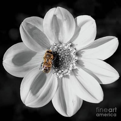 Photograph - Bee On A Flower - Black And White by Vyacheslav Isaev