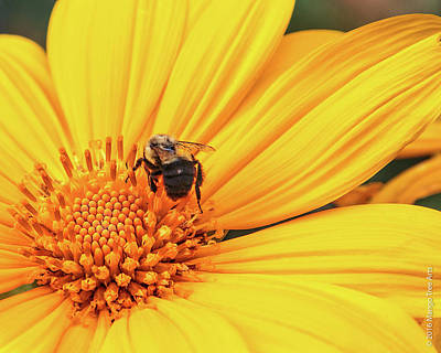 Photograph - Bee On A Mexican Sunflower by Stuart Wilson