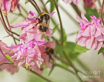 Photograph - Bee On A Pink Aquilegia by Terri Waters