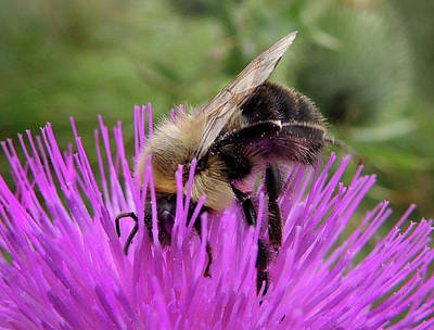 Photograph - Bee On A Thistle by Nancy Griswold