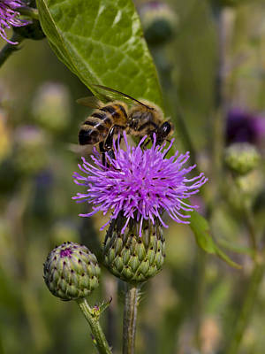 Photograph - Bee On A Thistle by Ron Grafe