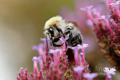 Photograph - Bee On A Verbena Bonariensis by Nick Biemans