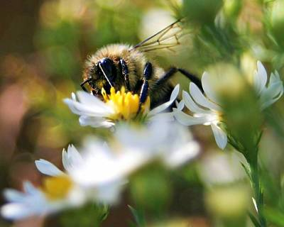 Photograph - Bee On Aster by Jeanette Fellows