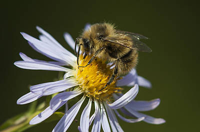 Photograph - Bee On Aster by Robert Potts