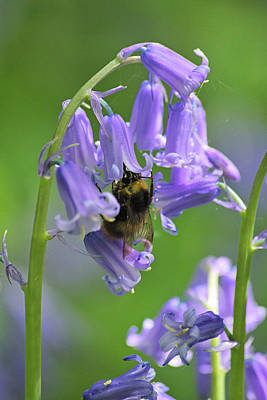 Photograph - Bee On Bluebell by Tony Serzin