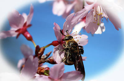 Photograph - Bee On Cherry Blossom by Cynthia Guinn