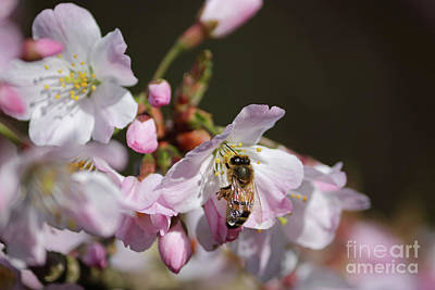Photograph - Bee On Cherry Blossom by Julia Gavin