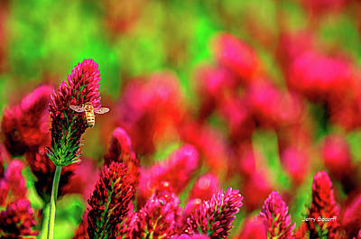 Jerry Sodorff Royalty-Free and Rights-Managed Images - Bee On Clover CR by Jerry Sodorff