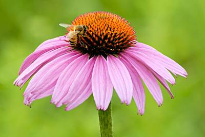 Photograph - Bee On Cone Flower by Larry Ricker