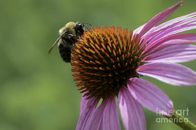 Photograph - Bee On Coneflower by Andrea Silies