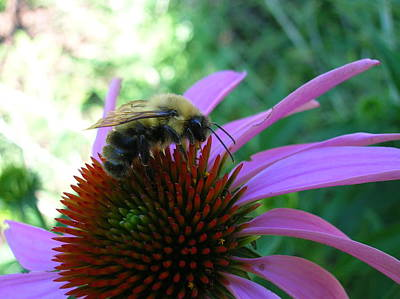 Photograph - Bee On Coneflower by George Jones