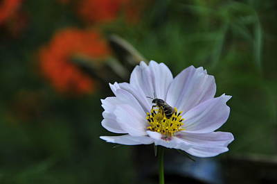 Photograph - Bee On Daisy by David Arment