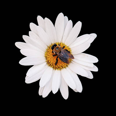 Photograph - Bee On Daisy by Gary Slawsky