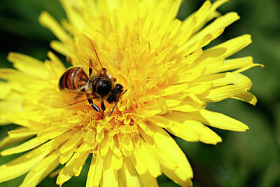 Photograph - Bee On Dandelion by Marilyn Hunt